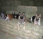 Casey - All American Academy of Dog Training - Lori Milroy dogs on Hay stack